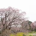 Photos: 高蔵寺【しだれ桜】2