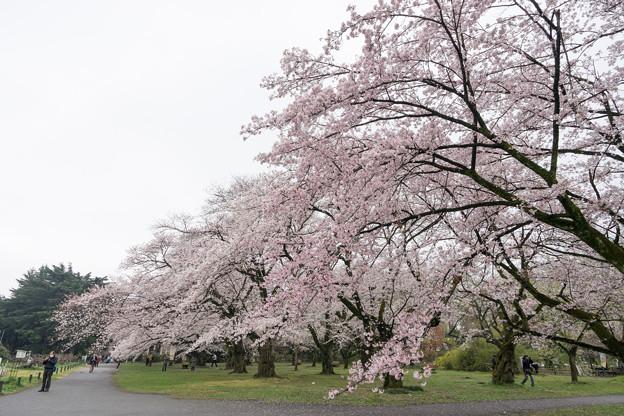 小石川植物園【染井吉野の林】08