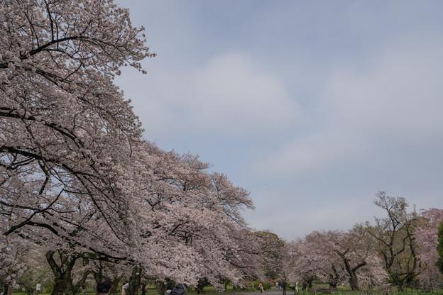 小石川植物園【染井吉野の林】10