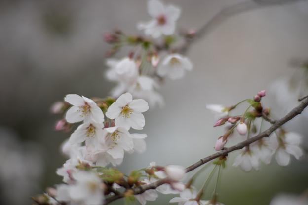 小石川植物園【サクラのアップ:85 mm】02