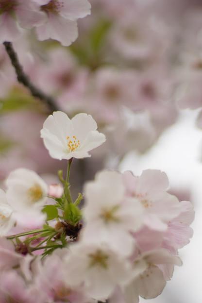 小石川植物園【サクラのアップ:85 mm】05