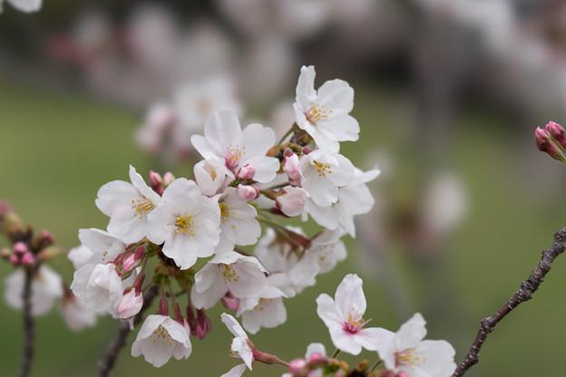 小石川植物園【サクラのアップ:100 mm】01