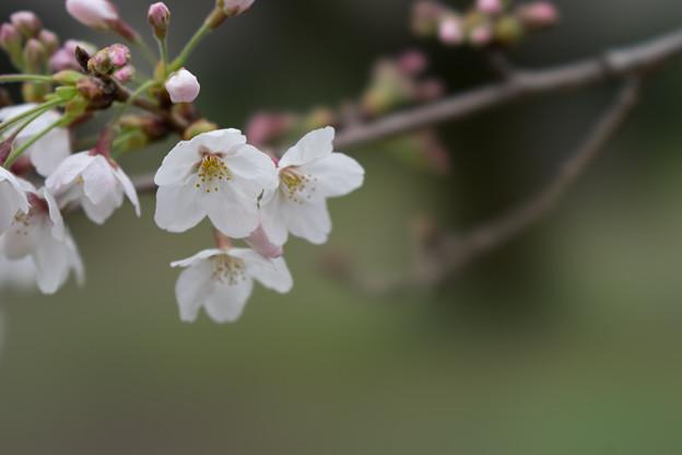 小石川植物園【サクラのアップ:100 mm】02