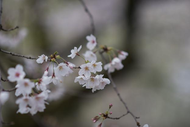 小石川植物園【サクラのアップ:135 mm】02