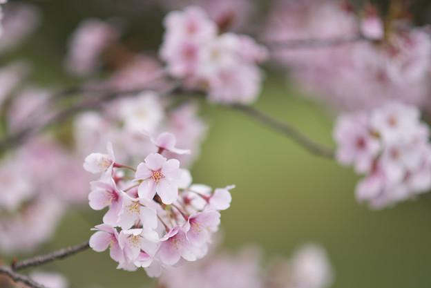 小石川植物園【サクラのアップ:135 mm】03