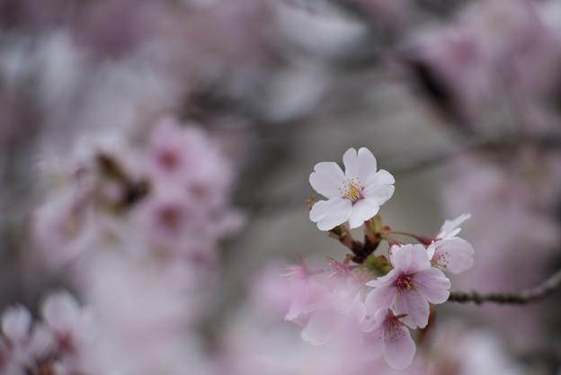 小石川植物園【サクラのアップ:135 mm】05