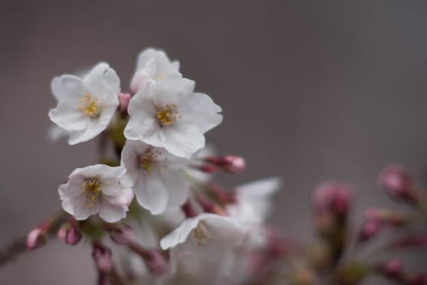 小石川植物園【サクラのアップ:135 mm】06