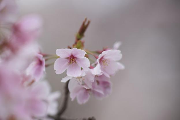 小石川植物園【サクラのアップ:135 mm】07