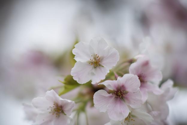 小石川植物園【サクラのアップ:135 mm】08