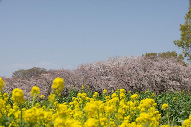 昭和記念公園【桜の園の眺め】05
