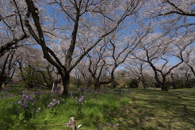 昭和記念公園【桜の園の眺め】07