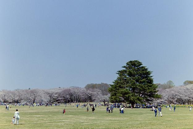 昭和記念公園【桜の園の眺め】銀塩2