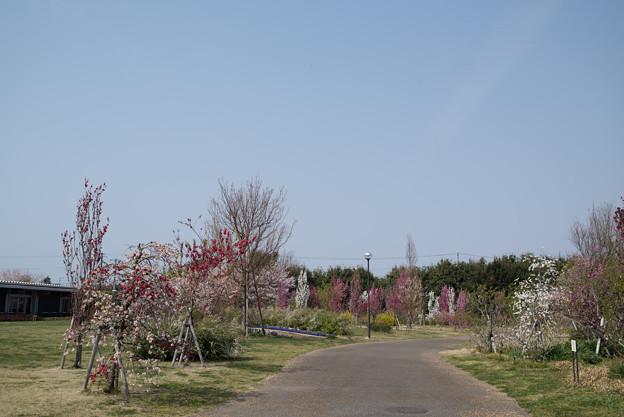 花菜ガーデン【春告げの小道:ハナモモ】1