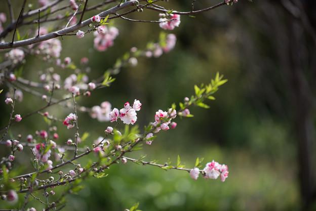 花菜ガーデン【ハナモモ:源平】2