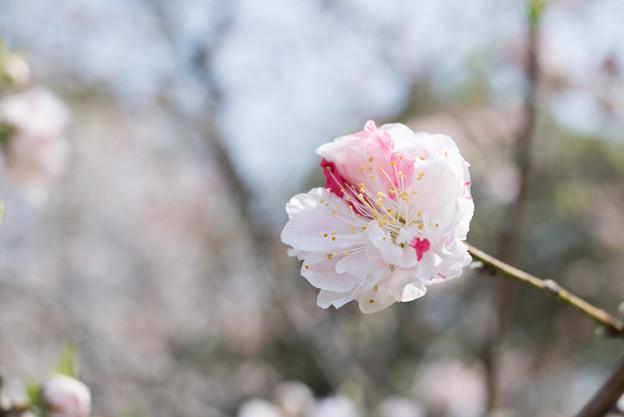 花菜ガーデン【ハナモモ:源平】5