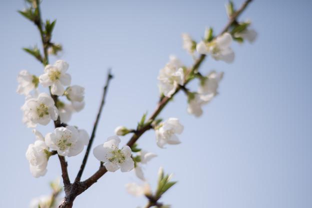 花菜ガーデン【ハナモモ:白八重】3