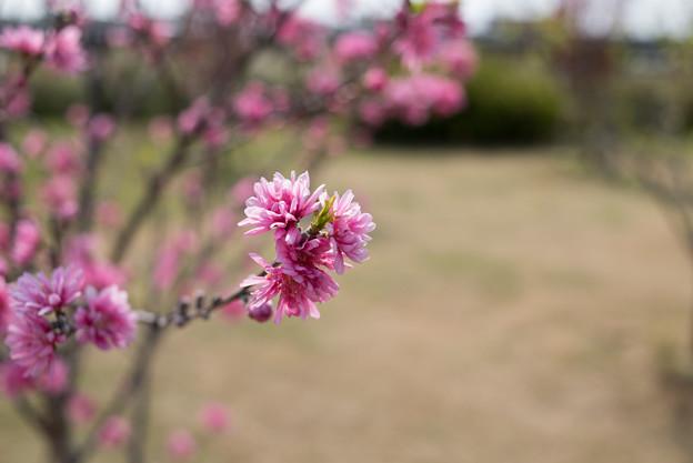 花菜ガーデン【ハナモモ:レッドドワープ】3