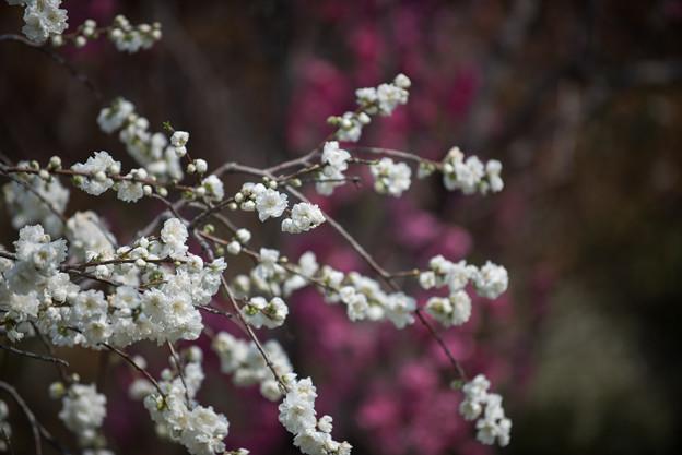 花菜ガーデン【ハナモモ:雲竜枝垂】2