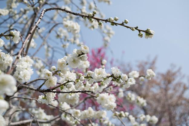 花菜ガーデン【ハナモモ:雲竜枝垂】3