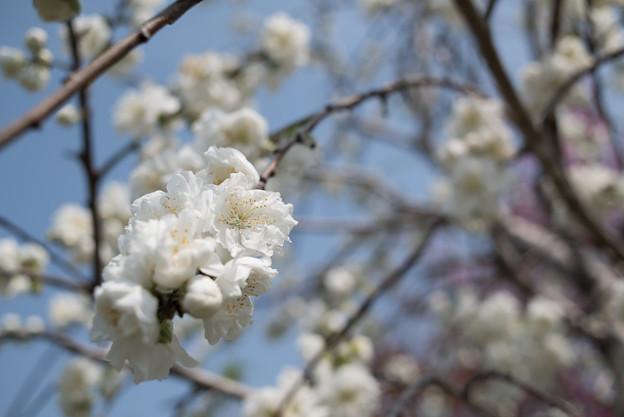 花菜ガーデン【ハナモモ:雲竜枝垂】4