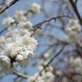 Photos: 花菜ガーデン【ハナモモ:雲竜枝垂】4
