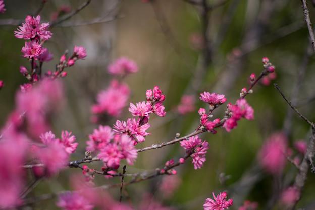 花菜ガーデン【ハナモモ:菊】