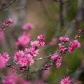 Photos: 花菜ガーデン【ハナモモ:菊】