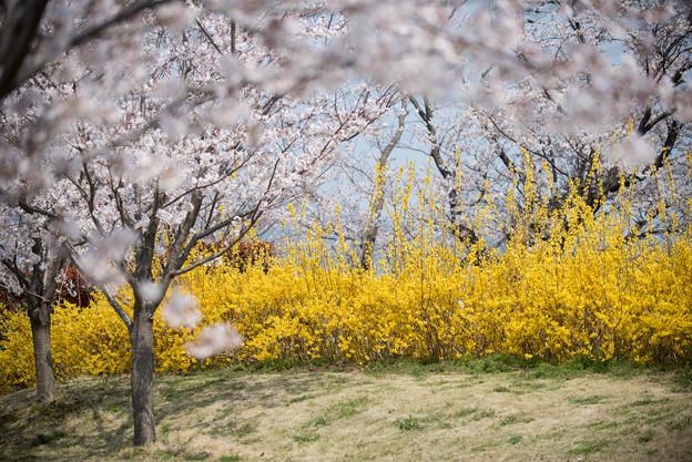 花菜ガーデン【染井吉野とレンギョウ】2