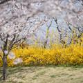 Photos: 花菜ガーデン【染井吉野とレンギョウ】2