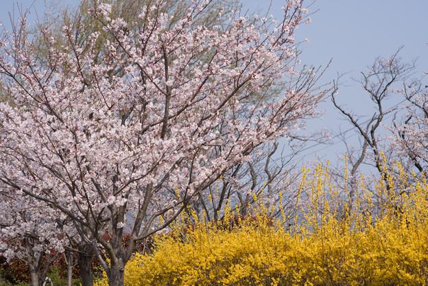 花菜ガーデン【染井吉野とレンギョウ】3