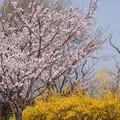 Photos: 花菜ガーデン【染井吉野とレンギョウ】3