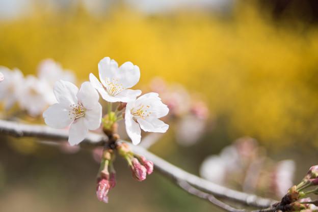 花菜ガーデン【染井吉野とレンギョウ】5