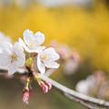 Photos: 花菜ガーデン【染井吉野とレンギョウ】5