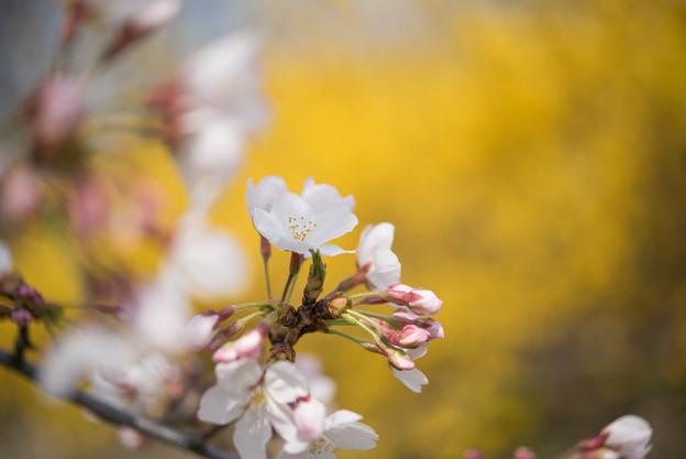 花菜ガーデン【染井吉野とレンギョウ】6