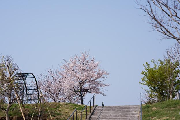 花菜ガーデン【染井吉野】1