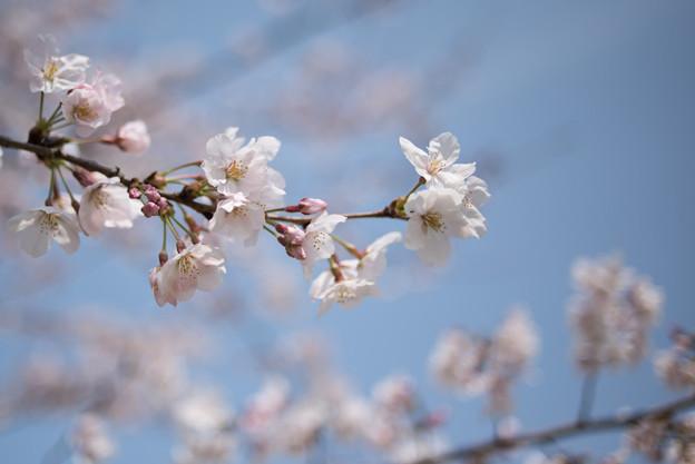 花菜ガーデン【染井吉野】3