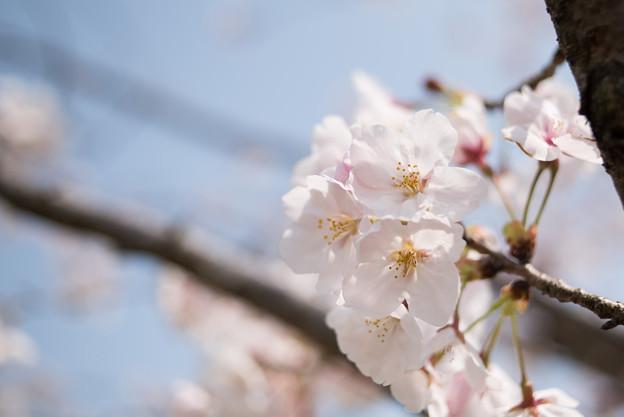 花菜ガーデン【染井吉野】5