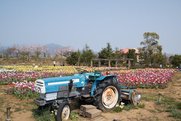 花菜ガーデン【チューリップ園の眺め】2
