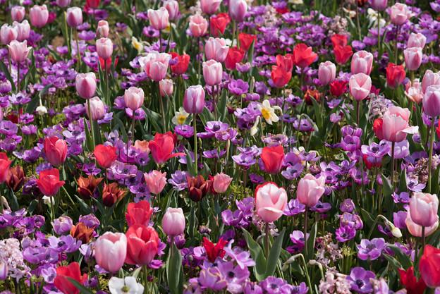 花菜ガーデン【チューリップ:赤系】2