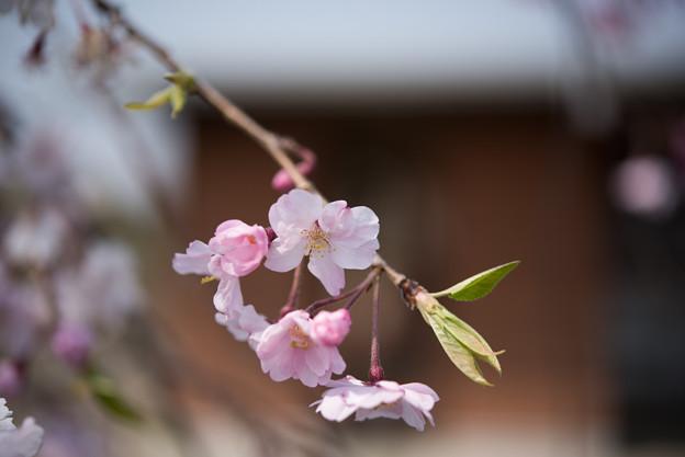 花菜ガーデン【しだれ桜】1