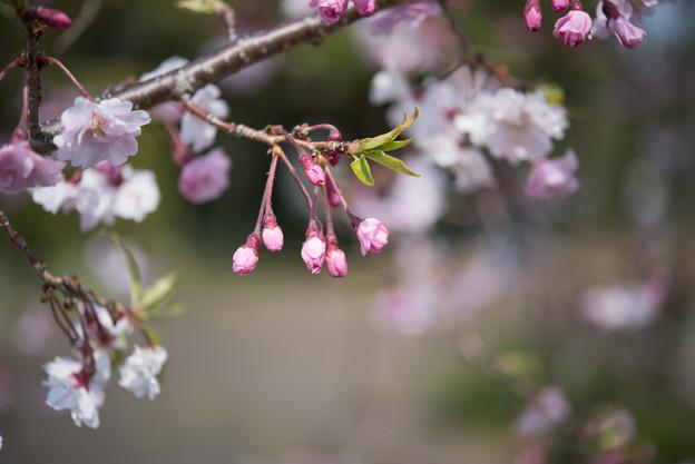 花菜ガーデン【しだれ桜】2