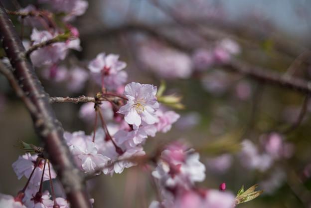 花菜ガーデン【しだれ桜】4