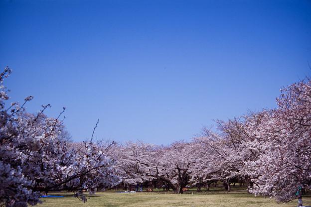 昭和記念公園【桜の園の眺め】銀塩ポジ_1