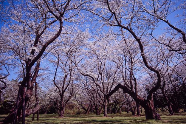 昭和記念公園【桜の園の眺め】銀塩ポジ_3