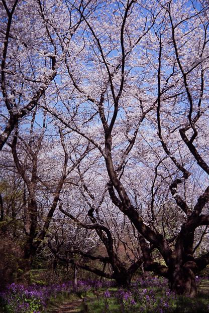 昭和記念公園【桜の園の眺め】銀塩ポジ_4