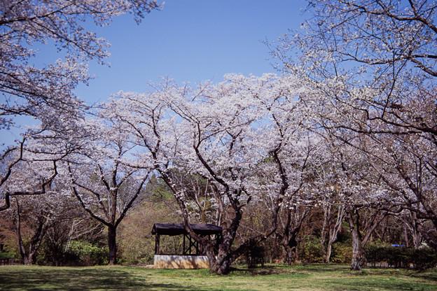 昭和記念公園【桜の園の眺め】銀塩ポジ_5