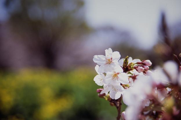 昭和記念公園【桜の園の眺め】銀塩ポジ_6