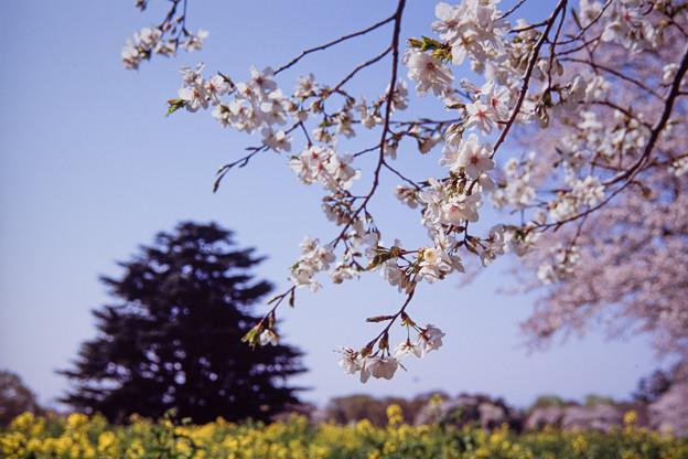 昭和記念公園【桜の園の眺め】銀塩ポジ_7