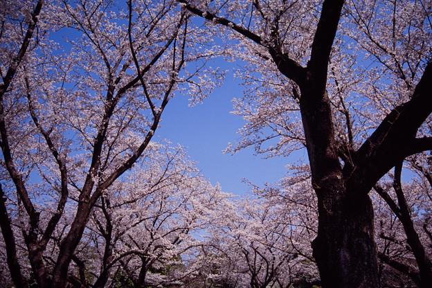 昭和記念公園【さくら橋近くの桜林の眺め】銀塩ポジ_2