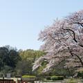 神代植物公園【さくら園の眺め】5